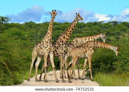 giraffes overcrowding - stock photo