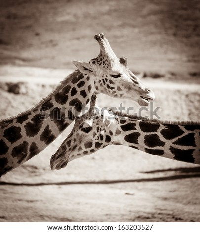 Giraffes portrait - stock photo
