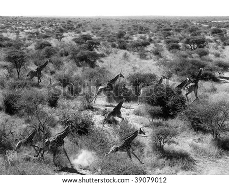 Giraffes running in the wild taken from the air black and white - stock photo