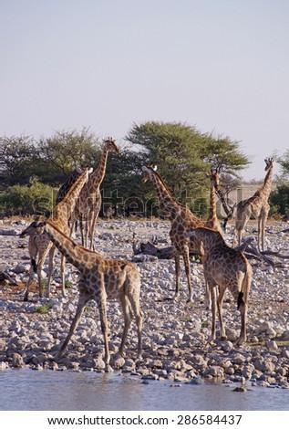 Giraffes seen at a waterhole in Etosha National Park, Namibia  - stock photo