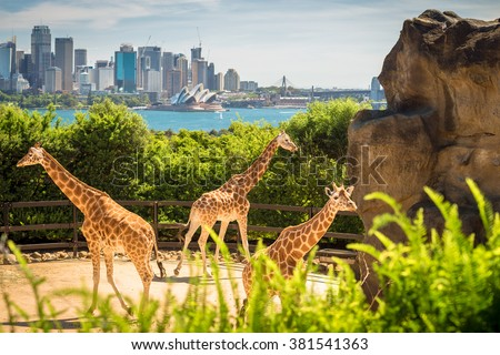 Giraffes with beautul Sydney city at the background on a bright day, NSW, Australia  - stock photo
