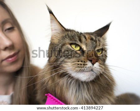 Girl and cat close-up on a light background. Girl takes care of the cat. Maine Coon cat. Big Maine Coon. Colored Maine Coon. Favorite pet Maine Coon. Girl combing cat - stock photo