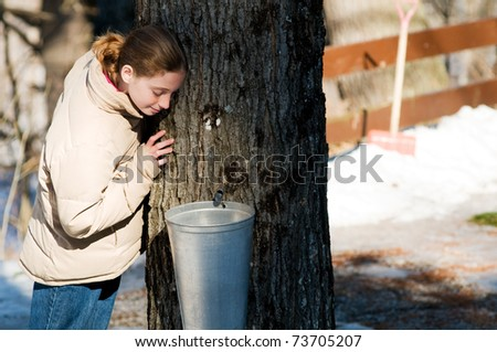girl looking in a bucket collecting maple sap to make syrup - stock photo