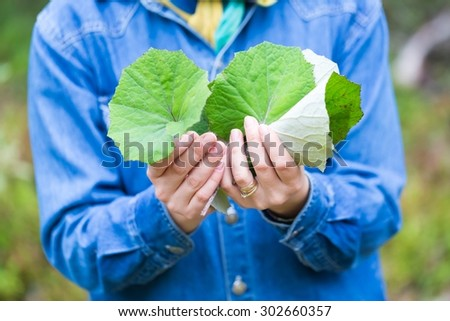 Girl picking coltsfoot leaves for drying (Coltsfoot-Tussilago farfara is natural medicine for cold and other winter disease) - stock photo