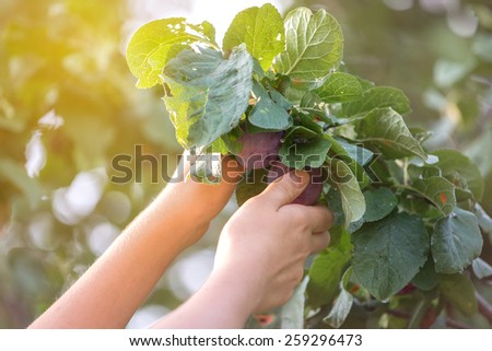 girl picking plums in an orchard - stock photo