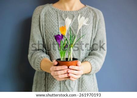girl`s hands hold a pot of crocus - stock photo