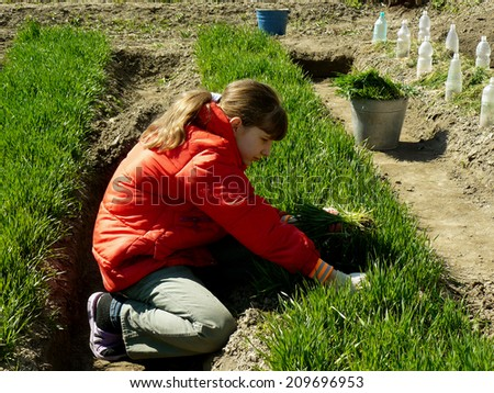 girl thins out green wheat which used as green manure for sowing seeds - stock photo