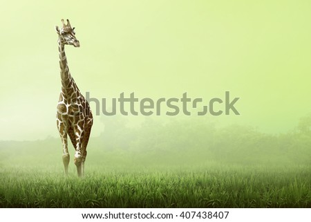 Girrafe standing on the grassland at the sunset - stock photo