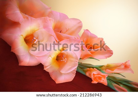 Gladiolus branch with blossoming gently  peach flowers with a yellow center and closed buds lying, dividing background on light beige and dark burgundy. Close-up view with space for text - stock photo