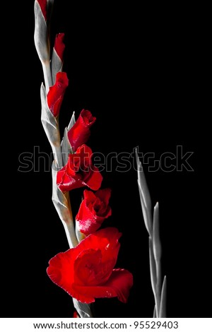 Gladiolus flower on black and white background - stock photo