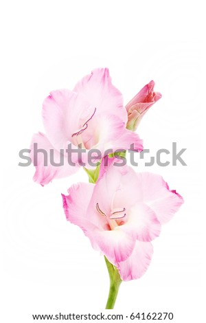 Gladiolus isolated on a white. Pink - stock photo