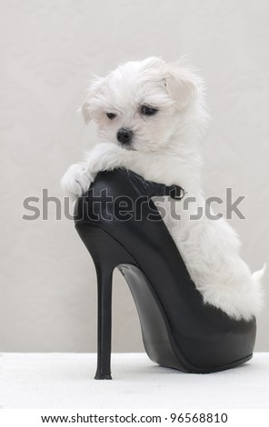 Glamour maltese puppy in the women's shoe - stock photo