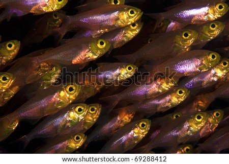 Glass fish, sweeper  closeup in the Similan Islands, Indian ocean, Thailand! - stock photo