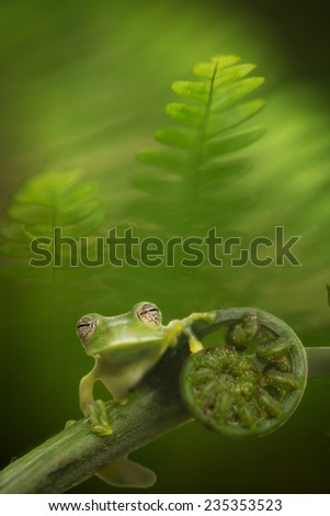 glass frog hyalinobatrachium bergeri in Bolivian rain forest, macro of a small green tree frog between fern leafs in the Amazon rainforest. - stock photo
