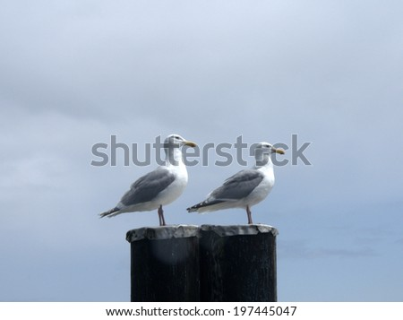 Glaucous-Winged Gulls (larus glaucescens), perhaps twins - stock photo