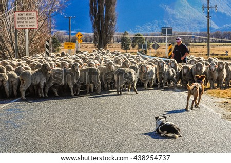 GLENORCHY, NEW ZEALAND - AUGUST 6, 2012: Shepherd dog help sheep crossing the bridge in Lord of the Rings film location, Glenorchy, New Zealand - stock photo