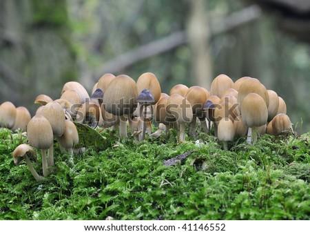 Glistening Ink Cap Fungi - Coprinus micaceus, with Mycena species on moss covered log - stock photo