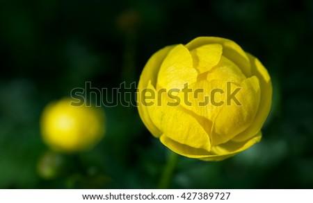 Globe flowers (Trollius europaeus), a perennial garden favourite. - stock photo