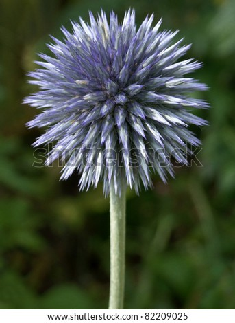 Globe Thistle Thornbush Flower Head - stock photo