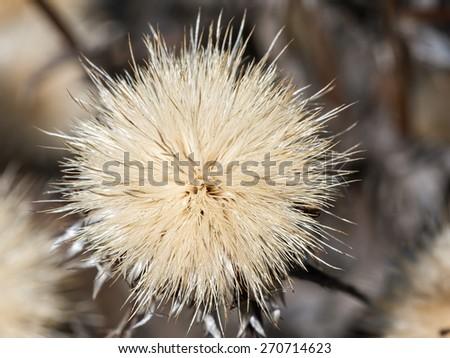 Globe thistles plant, spherical  dry flower head - stock photo
