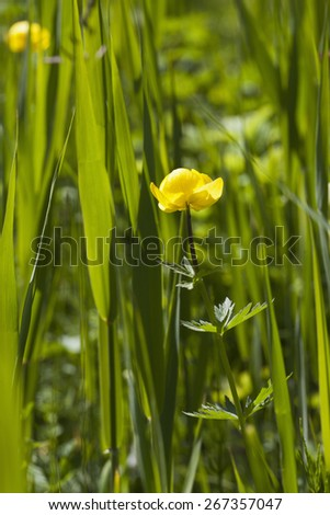 Globeflower on a summer meadow - stock photo