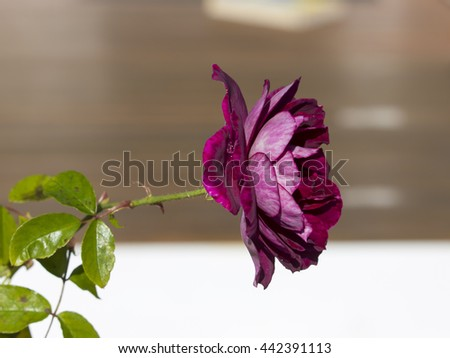 Glorious magnificent romantic beautiful sport of Brilliant Pink Iceberg rose Burgundy Iceberg roses blooming in winter  add fragrant charm to the garden  with  a florabunda clustering habit .  - stock photo