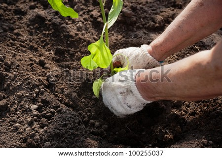Gloved hands planting a seedling into soil - stock photo