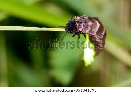 Glow-worm (Lampyris noctiluca) showing light on grass.  These beetles produce light to attract mates, as this female is doing here.  - stock photo