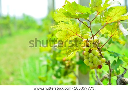 Glowing blue grapes  - stock photo