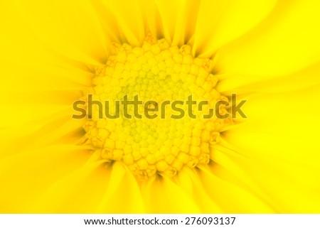 Glowing Yellow Daisy Flower - stock photo