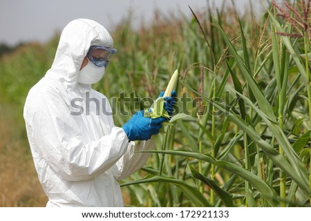 GMO,profesional in uniform goggles,mask and gloves examining  corn cob on field  - stock photo