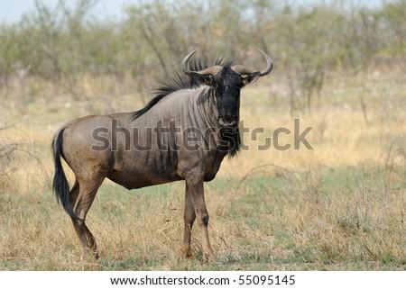 Gnu in the bush - stock photo
