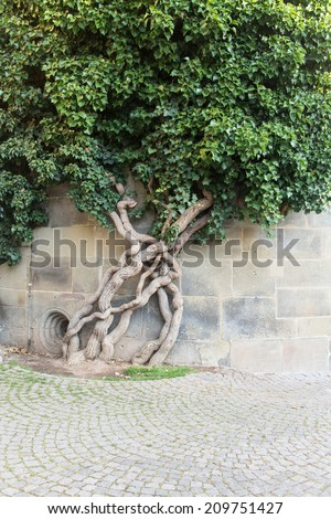 go green Wall of a house with window covered with ivy. creepy tree - stock photo