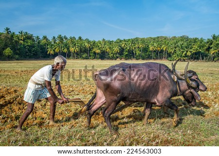 GOA, INDIA - DECEMBER 21 : Farmers plowing agricultural field in traditional way where a plow is attached to bulls on December 21, 2012 in Goa, India. - stock photo