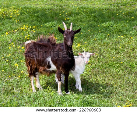 Goat and little white goat on green meadow - stock photo