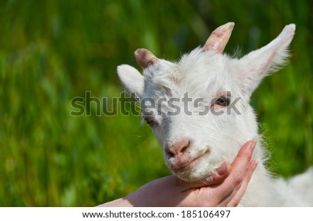goat baby on the hand close up - green grass background - stock photo