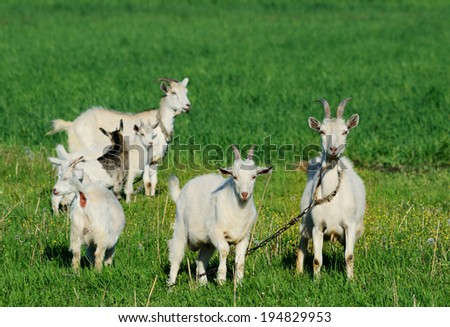 Goat family grazing in a green field - stock photo
