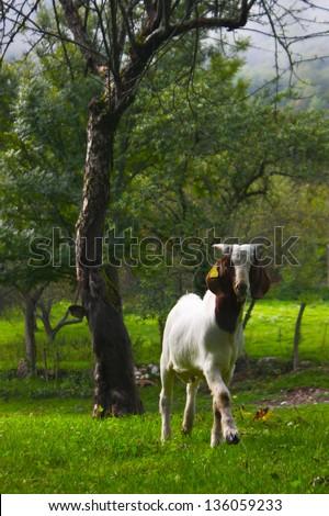 Goat grazing in Slovenian Alps - stock photo