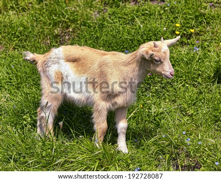 Goat in the grass - stock photo