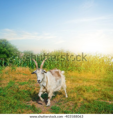 goat on a green pasture - stock photo