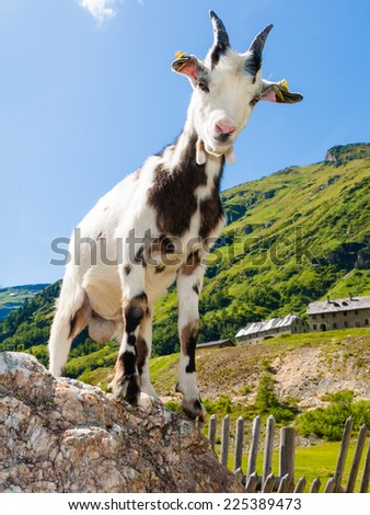 Goat on stone, Alps on background. 2015.Year of the Goat. - stock photo