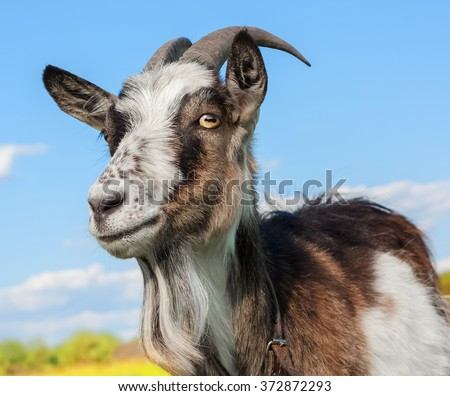 Goat on the blue sky background - stock photo