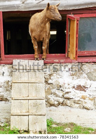 Goat peering out from inside a barn - stock photo