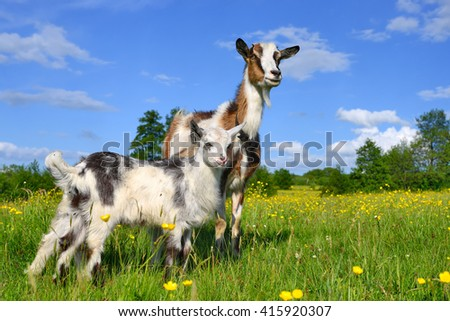 Goat with kid on summer pasture - stock photo