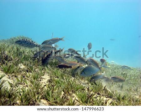 Goatfish and rabbitfish - stock photo