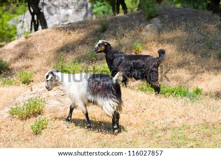 goats in the wildness Turkish valley - stock photo