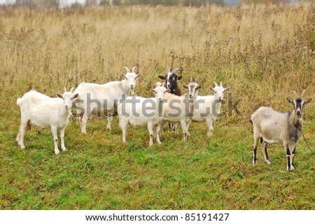 Goats watching and waiting for food - stock photo