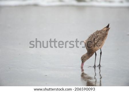 Godwit birds at the shore - stock photo