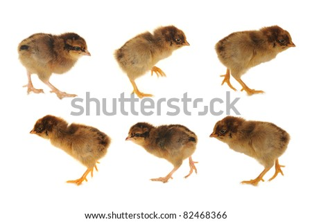 Going chicken on a white background - stock photo