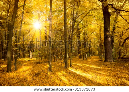 Gold Autumn landscape with sunlight and sunbeams - Beautiful Trees in the forest, fall season - stock photo